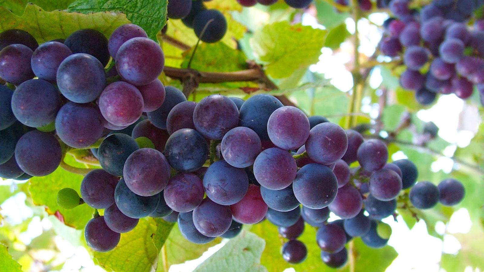 uva Cantine di Mezzaluna
