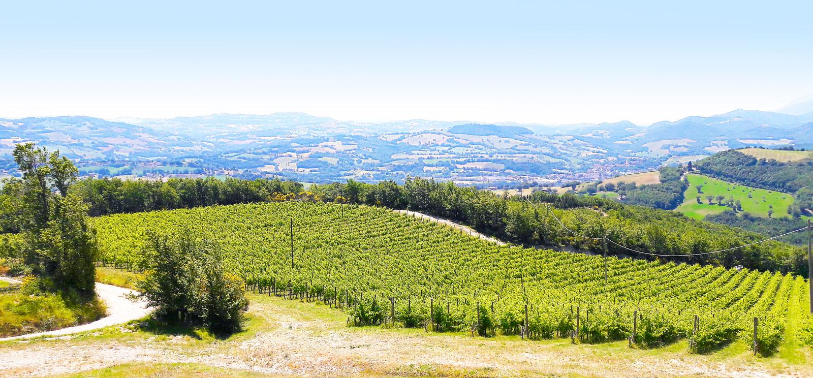 Vigne Marche