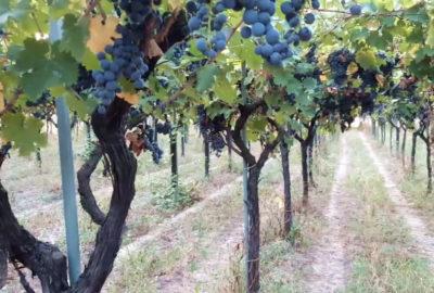 Nero di Troia Cooperativa Vino Nuovo